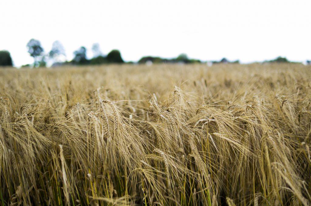 WaterfordDistillery Barley Swifts Heath Field 2015