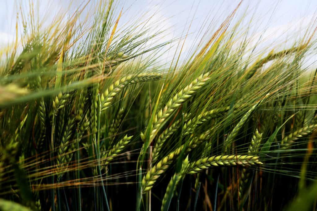 WaterfordDistillery_Organic_Barley-JohnMallick-Garryhoe-2015